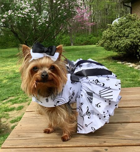 YorkieBestShots Dog Pets Outdoors Music Music Notes Pet Photography  Cute Pets Yorkielove Dress Up Adorable Yorkshire Terrier Yorkies Pet Clothes Yorkieselfie Yorkie With Bow Dogs Of EyeEm Yorkshireterrier Cutest Dogs  Yorkshire Beautiful Dogs Yorkiesofinstagram Dress Pets Corner Petstagram