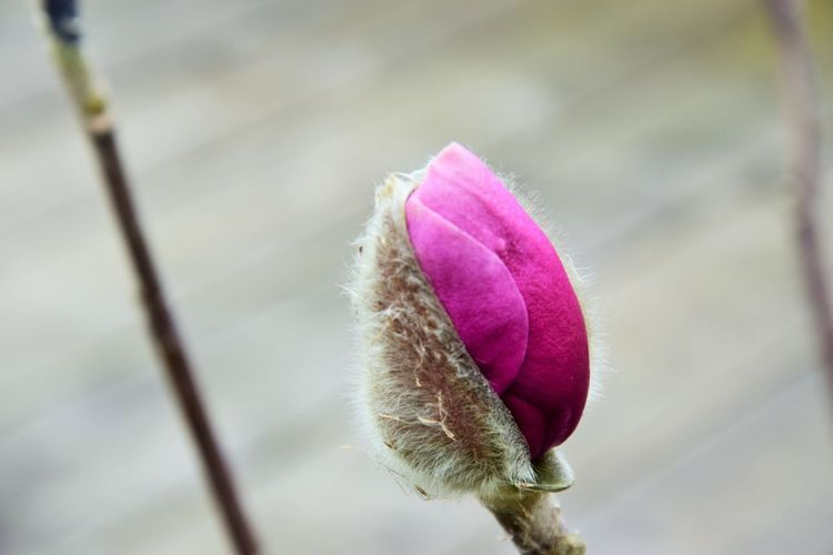 Flower Flowering Plant Plant Close-up Vulnerability  Pink Color Fragility Beauty In Nature Growth Freshness No People Focus On Foreground Nature Petal Plant Stem Springtime Flower Head Inflorescence New Life Outdoors Softness Purple Sepal Spring Nature_collection Nature Photography Naturelovers