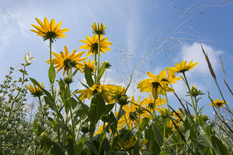Low angle view of yellow flowers blooming on field against sky