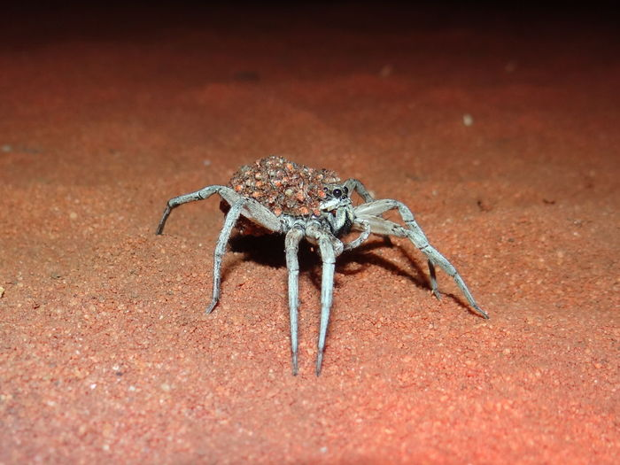 Wolf spider carrying babies on the back in Western Australia Australia Carrying Lycosoidea Spider Babies Carrying On Back Red Earth Spider Babies Spiderbaby Spiders Wolf Spider Wolfspider