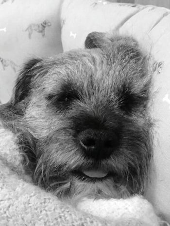 Fast Asleep Tongue Out Borderterrier Black And White Samsung Galaxy S7 Pets