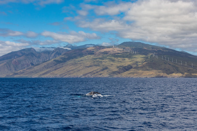 A humpback whale diving at the west-coast of Maui, Hawaii Hawaii Maui Animal Themes Animal Wildlife Animals In The Wild Aquatic Mammal Beauty In Nature Cloud - Sky Day Humpback Whale Mammal Mountain Mountain Range Nature No People One Animal Outdoors Scenics Sea Sea Life Sky Water Whale