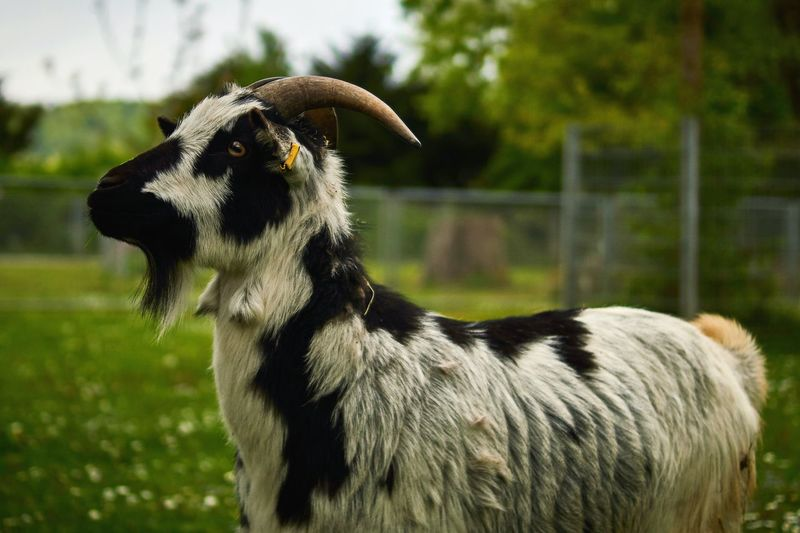 Close-up of goat on grass