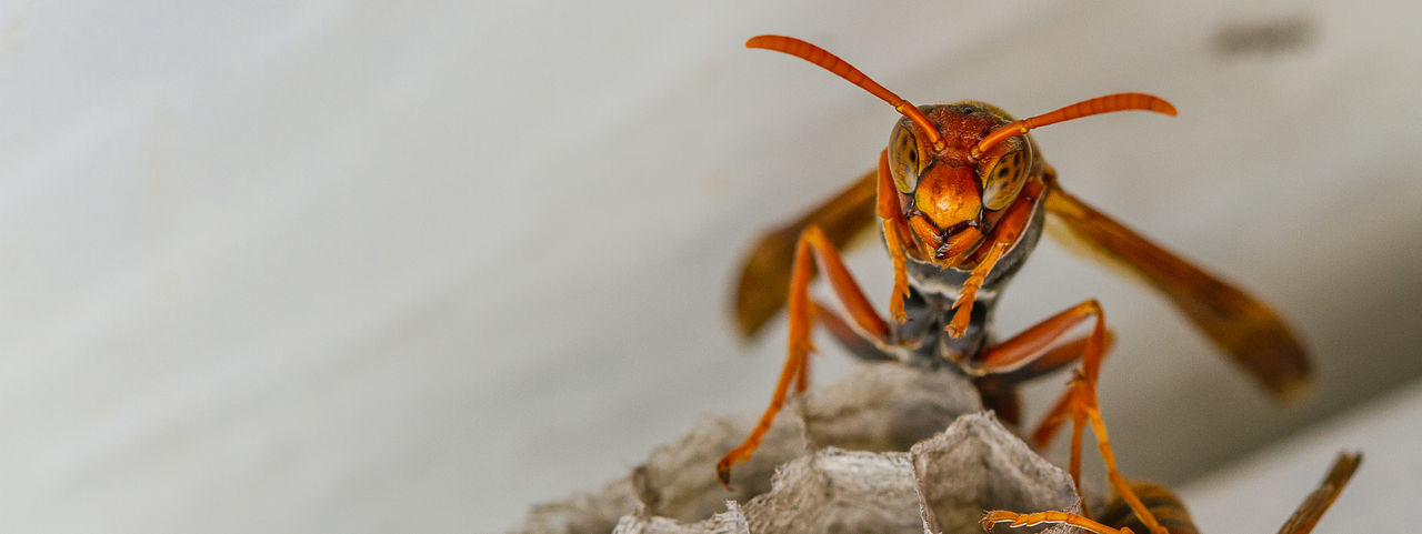 Common Paperwasp (Polistes humilis) Insect Invertebrate Animal Themes One Animal Animal Wildlife Close-up Animal No People Focus On Foreground Animal Body Part Nature Wasp Indoors  Day Selective Focus Plant Beauty In Nature Macro Macro Wasp Canon Macro Macro Photography Shepparton