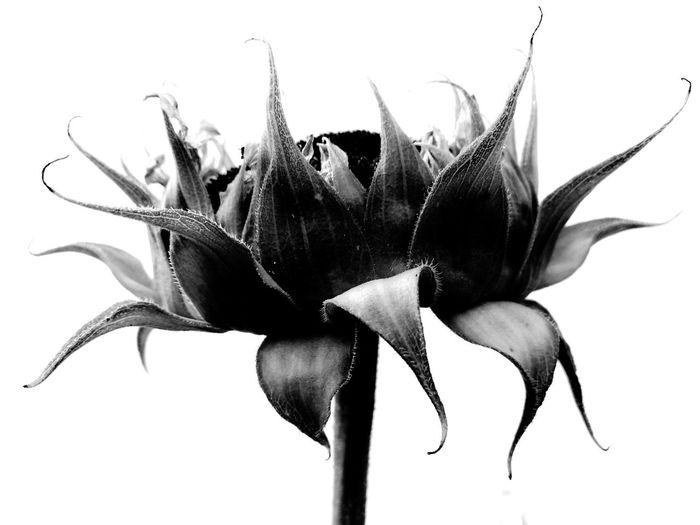 🌻 Flower Plant