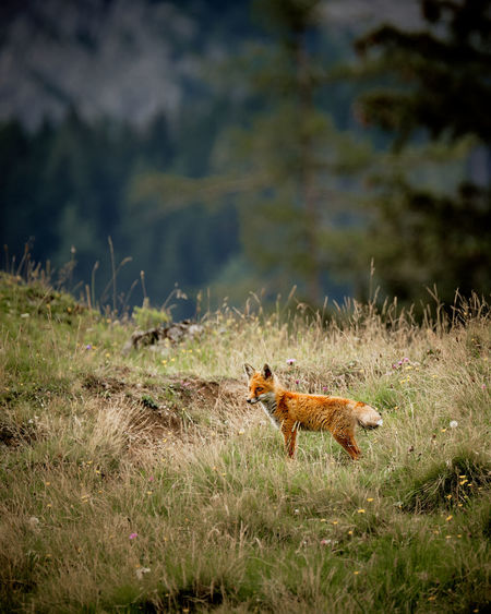 High angle view of red fox on land