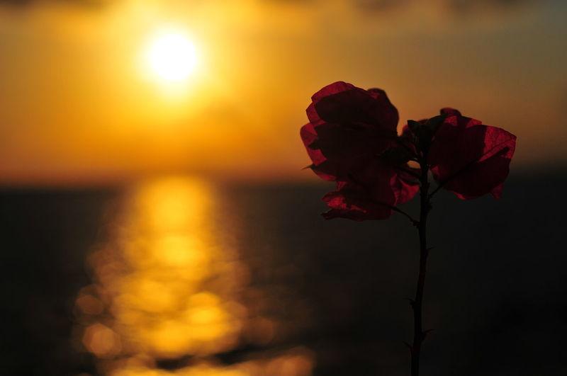 EyeEm Selects EyeEmBestPics Warm Illustration Orange Sunrise_sunsets_aroundworld Summer Sunlight Sunrise Mood Cute Flower Head Flower Sunset Red Petal Rose - Flower Sky Close-up Plant Bougainvillea Blooming In Bloom Silhouette Sun