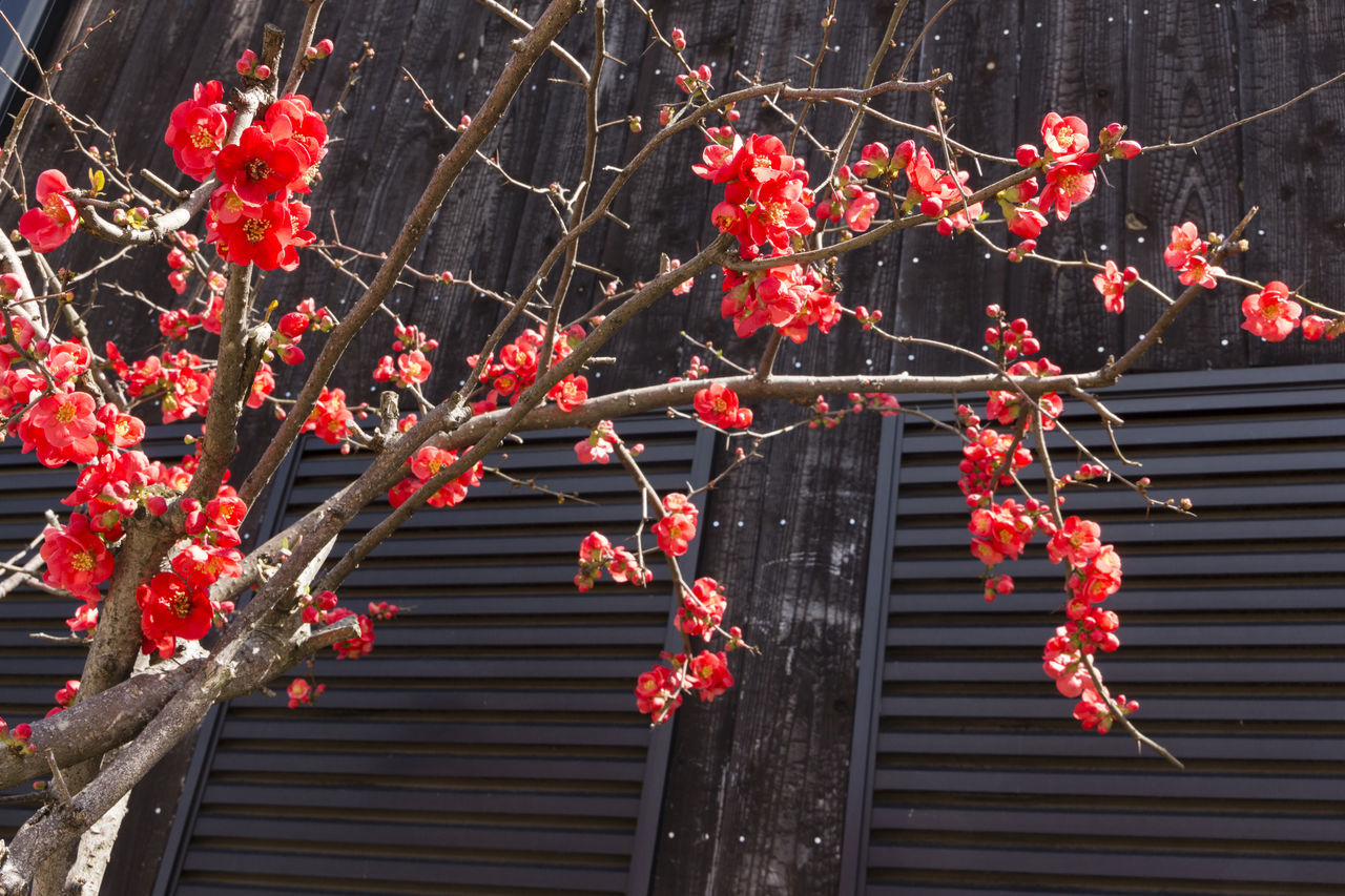 red, branch, no people, plant, growth, nature, day, low angle view, outdoors, tree, beauty in nature, freshness, fruit, berry fruit, food and drink, autumn, architecture, healthy eating, flower, food, change, rowanberry