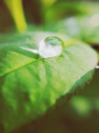 Water drop on the leaf Freshness Outdoors Water Close-up Leaf Green Color Refraction Beauty In Nature