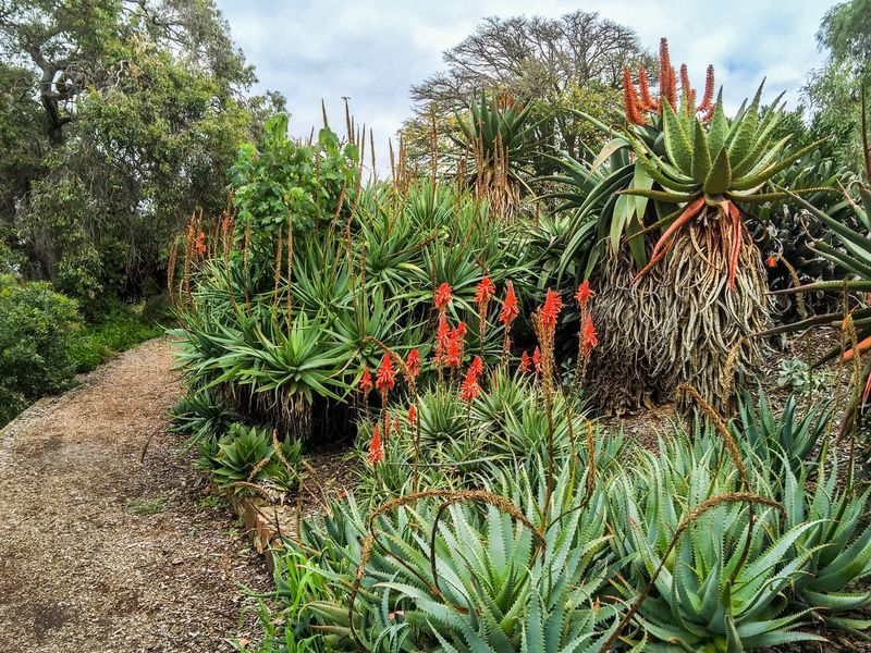 Path through Aloe Path Trail Aloe Vera Aloe Tropical Red Orange Flora Flowers Garden Photography Green Plants Garden Botanical Gardens Botanic King's Park Perth Western Australia Nature Spiky Medicinal Plant Healing Lush Tourist Attraction  Greenery