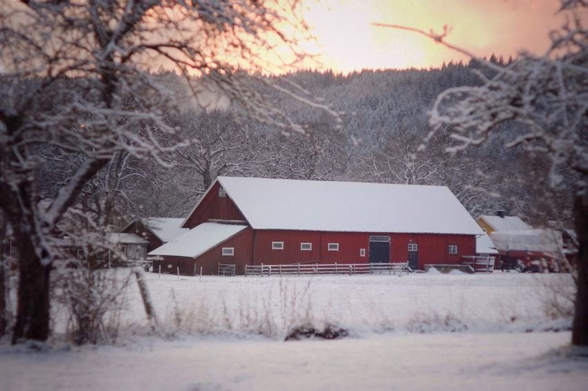 Barn at sunset, Omberg, Sweden Vintage Lens Sunset Winter Snow Cold Temperature Bare Tree Weather Nature Tree Landscape Building Exterior Sky