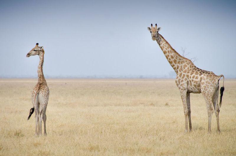 Giraffes standing on field against clear sky