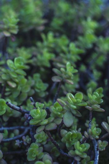 Clorophilla Green Leaf Green Color Nature Succulents Botanic Tree Vegetable Agriculture