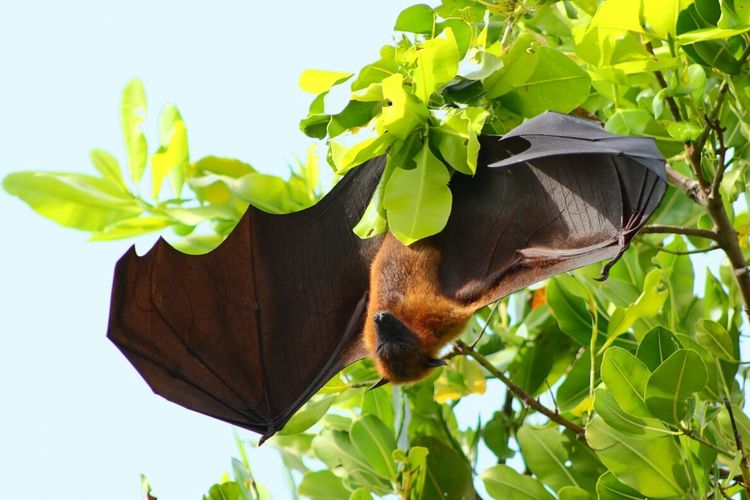 Flying Fox Leaves Naturelovers Relaxing Sunbathing Animal Animal_collection