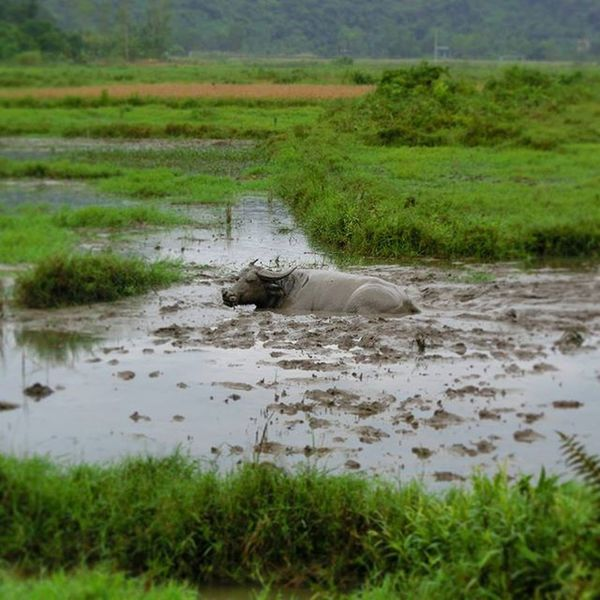 Vietnam Buffolo