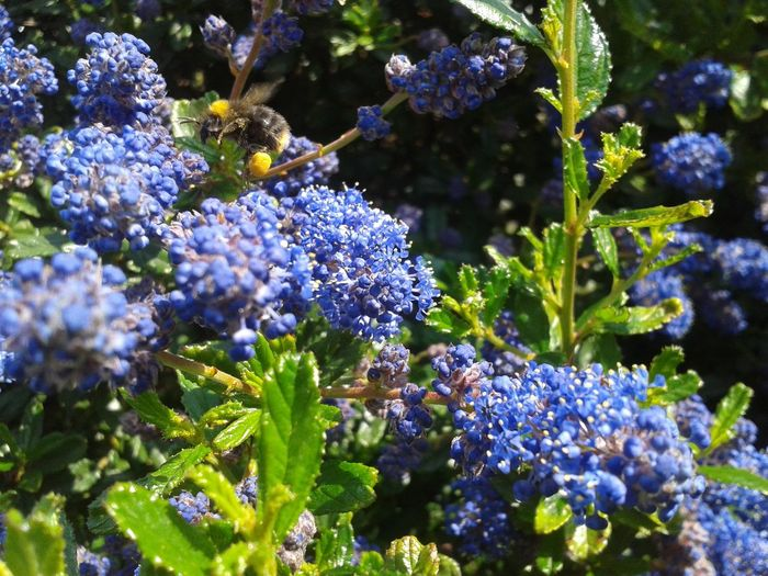 A Buff-Tailed bumble bee (Bombus Terrestris) coming in to land on a Ceanothus bush EyeEmNewHere Animals In The Wild Beauty In Nature Bombus Terrestris Ceanothus Flower Nature No People One Animal Outdoors Plant Wildlife