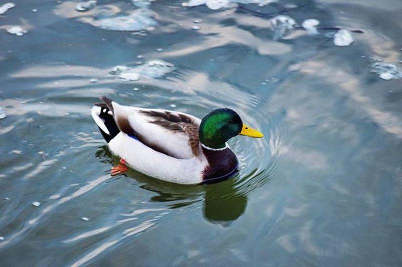 """Meet """"quacker"""". He's all grown up. . . . Go follow @joeahassle2.0. . . Nikon Lake Michigan Silverbeach StJoe Ice Pier Lakemichigan Puremichigan Cold Mittigan @puremittigan TomAndJerry Quacker Littleduck Duck"""