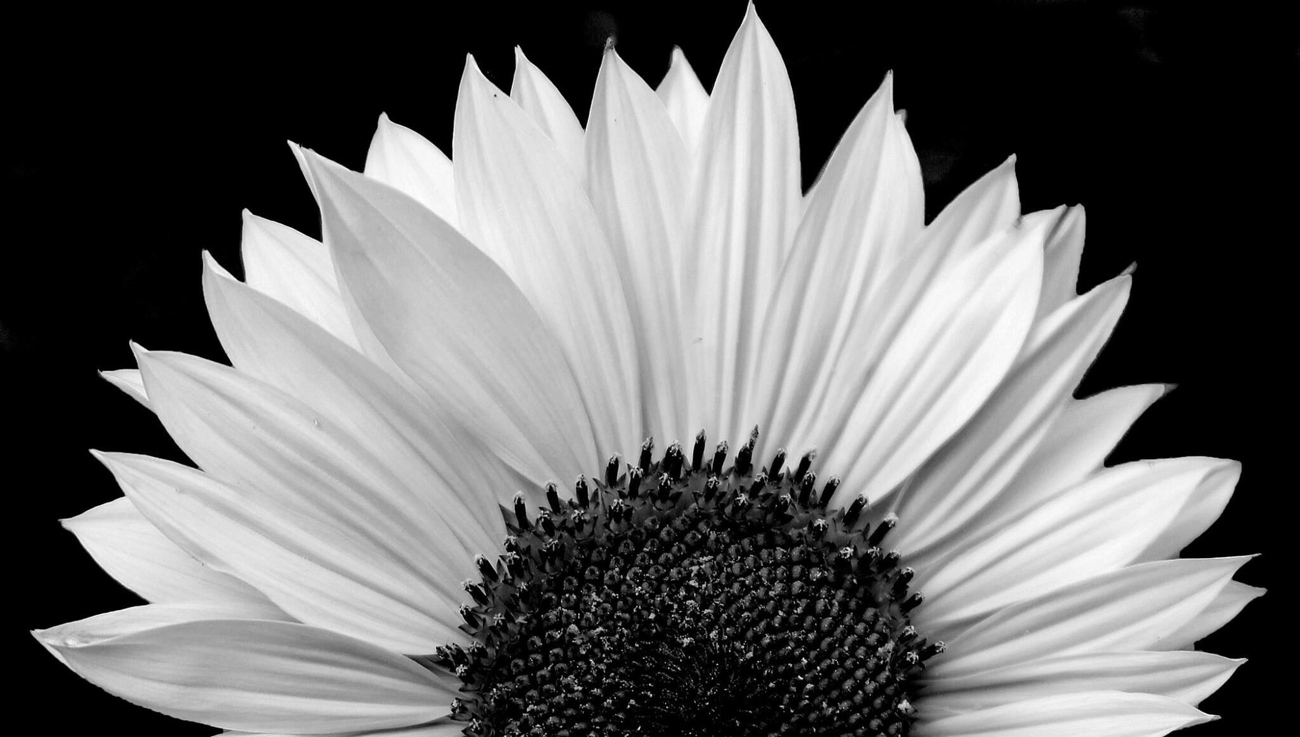 flower, petal, flower head, freshness, single flower, fragility, pollen, studio shot, close-up, black background, white color, beauty in nature, blooming, growth, nature, no people, white, daisy, plant, outdoors
