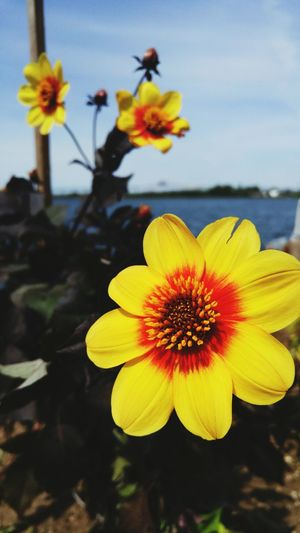 ❤🌺🌸 Flower Freshness Outdoors Beauty In Nature Close-up Petal Yellow Fragility Flower Head Plant Nature Day No People Growth Focus On Foreground Sky