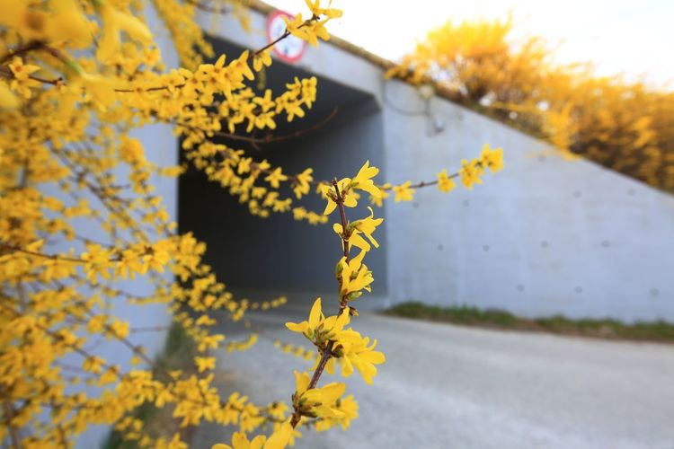 Close-up of yellow flowering plant on road