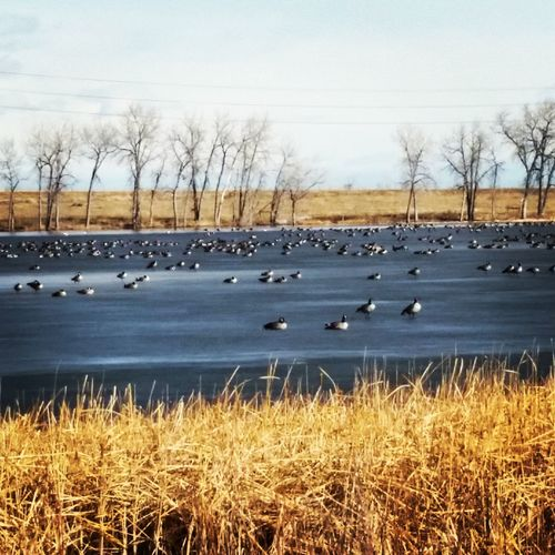 Cozy Winter Winterscapes Colorado Blue Skies Canadian Geese