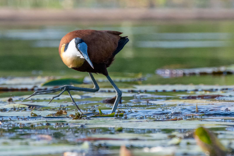 African jacana (Actophilornis africanus) Birds Of Africa EyeEm Birds EyeEm Nature Lover African Jacana Animal Animal Themes Animal Wildlife Animals In The Wild Bird Day Full Length Lake Land Nature No People One Animal Outdoors Plant Reflection Selective Focus Vertebrate Wader Water Water Bird Waterfront
