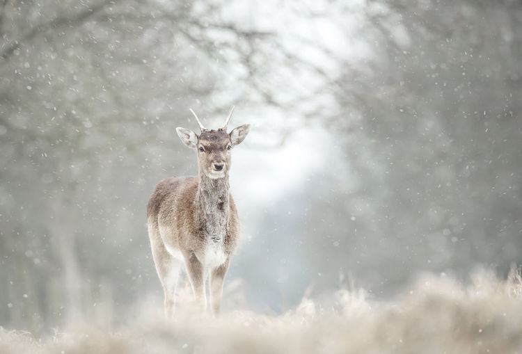 Portrait of deer standing in forest during snowfall