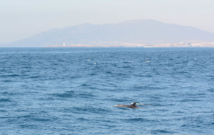 Andalusia SPAIN Strait Of Gibraltar Tarifa Tarifa Spain Animal Wildlife Animals In The Wild Aquatic Mammal Beauty In Nature Dolphin España Nature Outdoors Sea Sea Life Summer Water