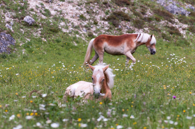 Small horse crouching on a flowery meadow and his mother standing in the background