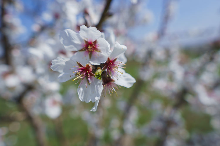 Flower Flowering Plant Fragility Vulnerability  Plant Freshness Beauty In Nature Growth Petal Blossom Close-up Cherry Blossom White Color Pollen Springtime Tree Fruit Tree Nature Day Inflorescence Flower Head No People Outdoors Cherry Tree Spring