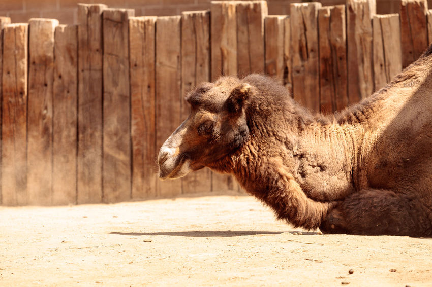 Bactrian camel Camelus bactrianus has two humps and can go months without water. Bactrian Camel Camelus Bactrianus Desert Animal Themes Camel Close-up Day Domestic Animals Livestock Mammal Nature No People One Animal Outdoors