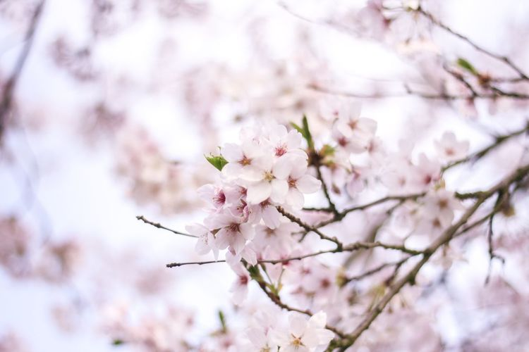 The first cherry blossoms of the season No. 1 Flowering Plant Flower Fragility Plant Vulnerability  Freshness Beauty In Nature Blossom Growth Tree Springtime Nature Close-up Cherry Blossom Low Angle View Day Pink Color White Color Branch Twig The Great Outdoors - 2018 EyeEm Awards