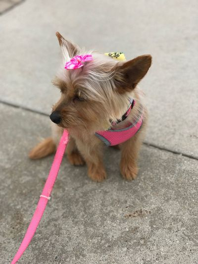 """This little yorkie says """"I am freshly groomed and my mom is taking pictures? I want to go for a walk, NOW!"""" Pure Michigan Sad Face Driveway Pink Leash Groomed Groomer Pretty Pink Harness Yorkie Pomeranian Yorkies Dog Bows EyeEm Selects Dog Pets Domestic Animals One Animal"""