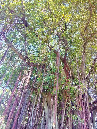 Tree Nature Tree_collection  Nature Photography Tree View Tree Photography Banyan Tree Banyan Root Of Banyan Tree Banyan Root Low Angle Low Angle Shot Low Angle View Color Of Nature Beauty Of Nature Colorful Nature ใน Don Mueang, Thailand
