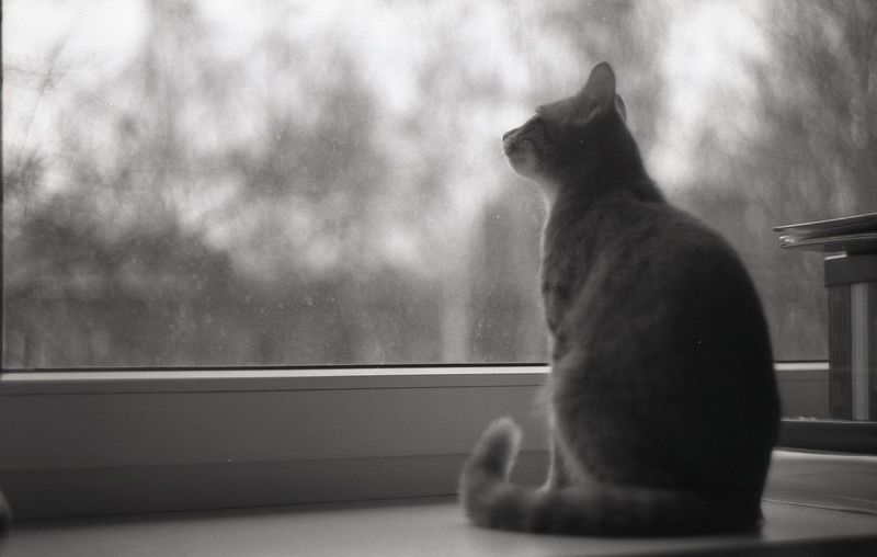 """""""Winter is coming...""""© Monochrome Photography One Animal Window Cat No People Film Black & White Zenit Filmcamera Monochrome Film Camera Black And White Monocrome . Day Monochrome _ Collection Melancholy Autumn Winter Cats Of EyeEm Cats 🐱 Cat Watching Cat Photography Waiting Pet Portraits Black And White Friday"""