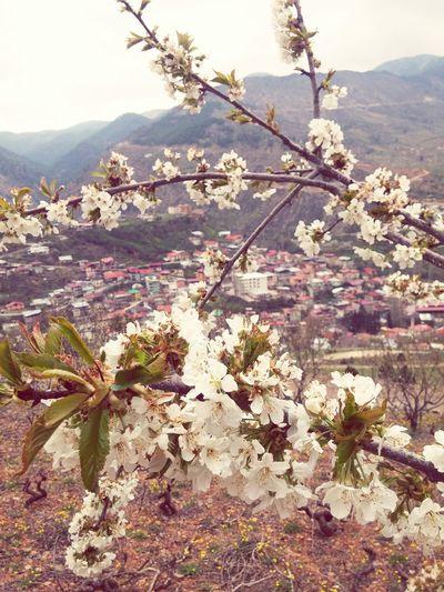 Spring Flowers Beautiful Nature EyeEm Best Shots EyeEm Nature Lover Hadjin Saimbeyli EyeEm Sektör Yapım Cherry Flower