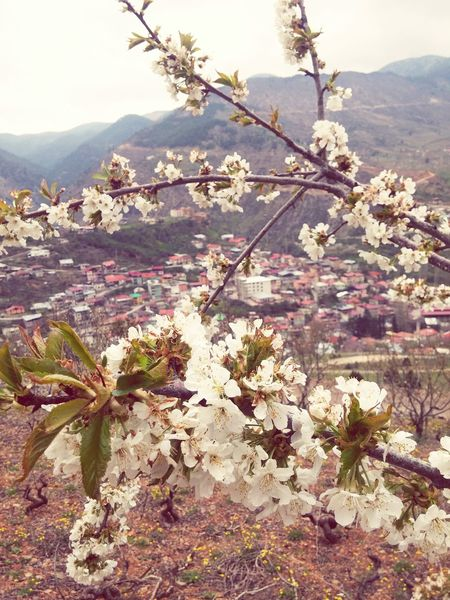 Spring Flowers Beautiful Nature EyeEm Best Shots EyeEm Nature Lover Hadjin Saimbeyli EyeEm Sektör Yapım Cherry Flower