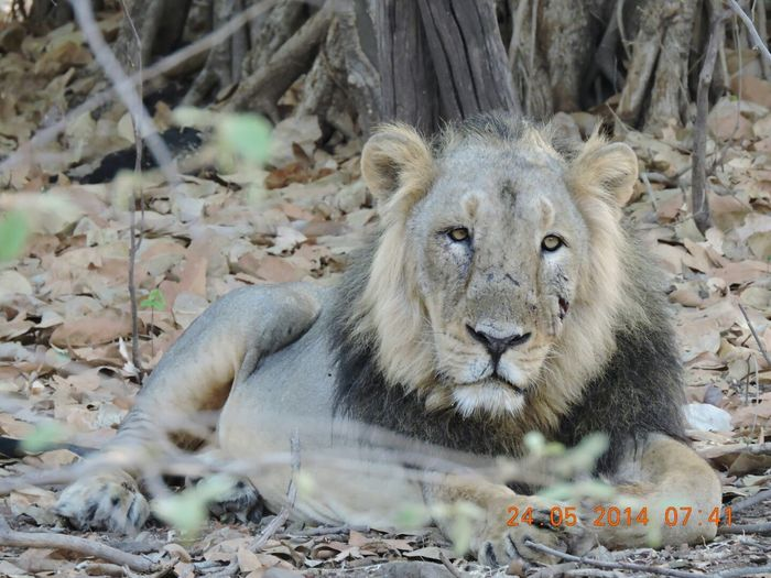 The King of the jungle @sasangir Check This Out King Lion Nature