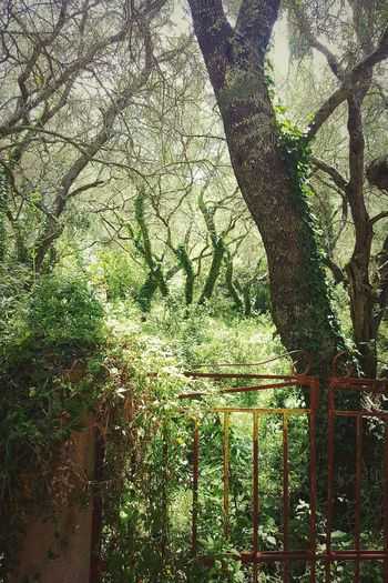 Olive Tree Ivy Covered Tree Ivy Olive Garden Olive Grove Abandoned Rusty Gate Summer Corfu Island Greece Walking Around Taking Photos Mediterranean