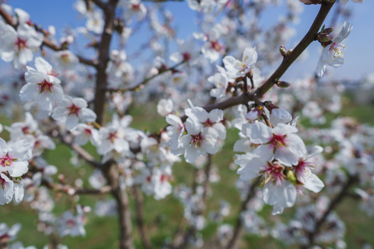Flowering Plant Flower Plant Fragility Blossom Growth Beauty In Nature Vulnerability  Freshness Tree Branch Cherry Blossom Springtime Close-up Petal Twig Day Nature Fruit Tree No People Pollen Flower Head Cherry Tree Outdoors Plum Blossom