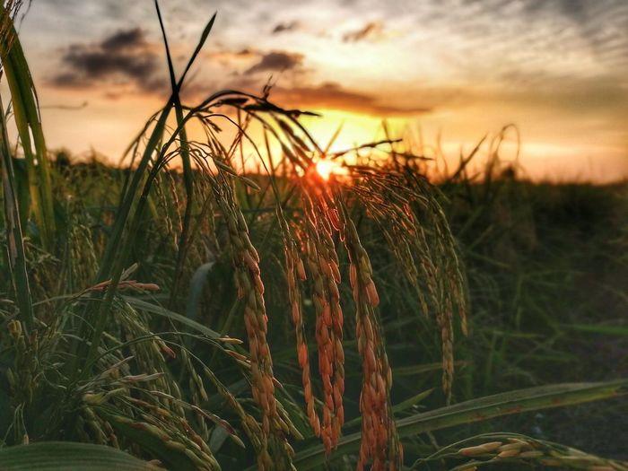 Paddy Agriculture Field Sun Sunlight