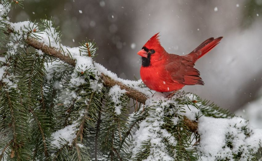 Northern cardinal on tree branch with snow during winter