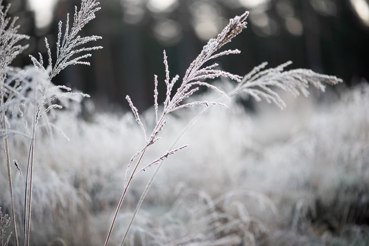 Fall Beauty Frost Winter Agriculture Beauty In Nature Bent Close-up Cold Cold Temperature Day Field Focus On Foreground Freshness Frosty Frosty Mornings Frosty Nature Frosty World Grass Growth Ice Crystals Nature No People Outdoors Plant White Shades Of Winter
