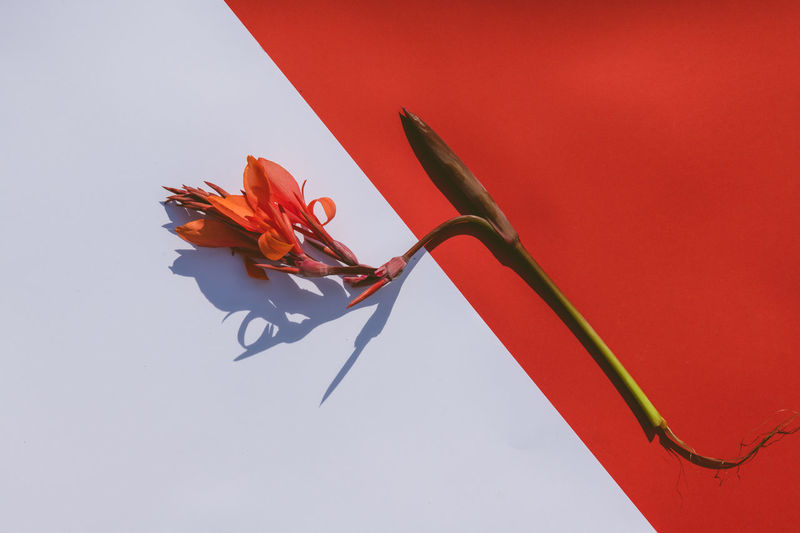 Close-up of red rose against orange background
