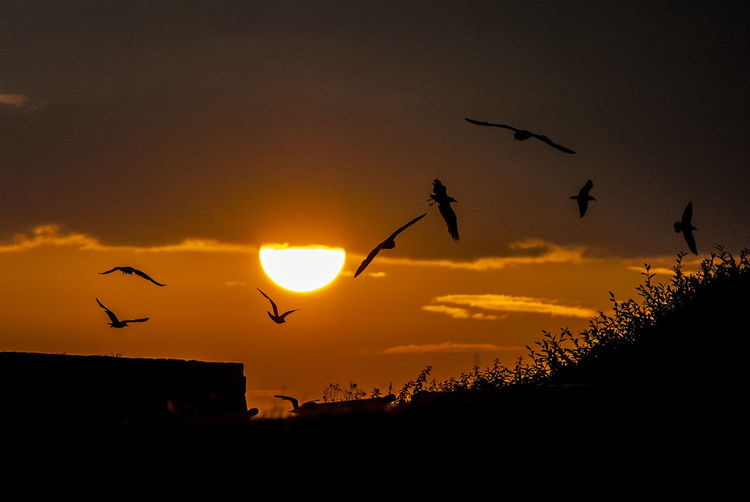 Seagulls at sunset Birds Nature Seagulls Flying Sun Sunset Dramatic Sky Clouds Silouette & Sky Portsmouth Hampshire  England Bird Flying Sunset Silhouette Flock Of Birds Sky
