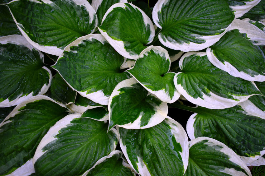 Backgrounds Close-up Colorful Leaves Day Freshness Full Frame Green Color Green Leaves Green Leaves Close Up Growth High Angle View Hosta Hosta Flower Hosta Plant Leaf Nature No People Outdoors Plant Plants Plants And Flowers Water Drops Water Drops On Leaves