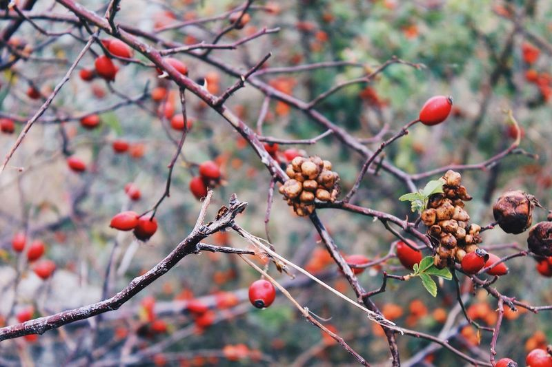 Fruit Tree Rose Hip Nature Outdoors Food And Drink Focus On Foreground Day Red No People Beauty In Nature Branch Growth Close-up Plant Winter Food Freshness