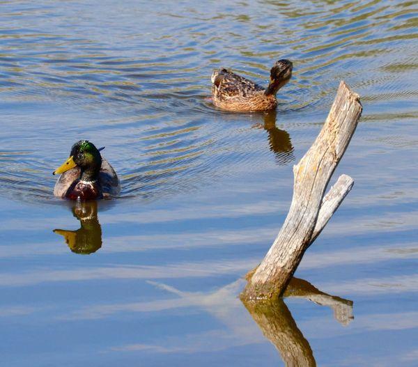 Mallard ducks swimming on lake