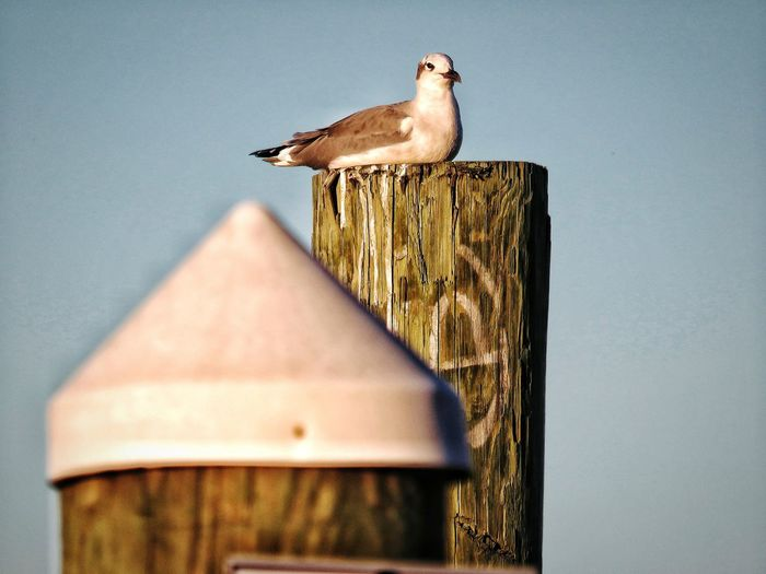 The lookout... Looking At Camera Perched Outdoors Nature Animal Themes Animal Wildlife EyeEm Nature Lover EyeEm Selects Bird Perching Sky Close-up Symbols Of Peace Preening Seagull Sea Bird