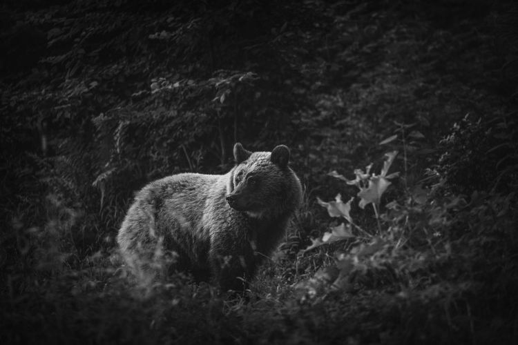 Wild brown bear in the forests of harghita area, romania.